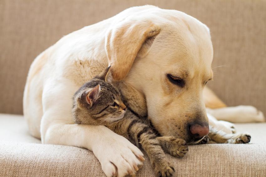 Nettoyer l'oreille chien chat