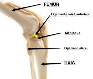 rupture du ligament croisé du chien - vue latérale du genou