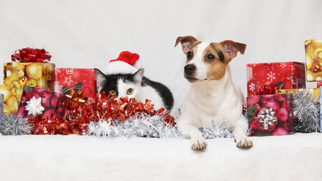 Christmas Jack Rusell terrier with a cat- source fotolia -