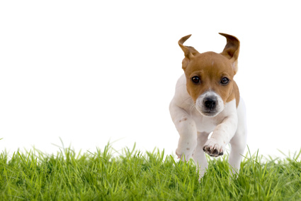 Chiot Jack Russell Terrier - Source Fotolia -