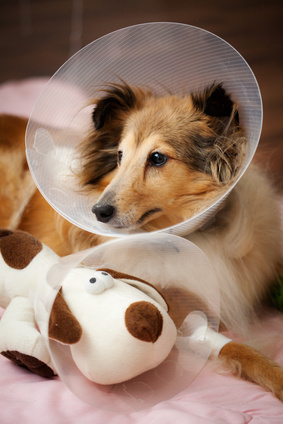 Sheltie - Source Fotolia -