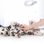Auscultation Dalmatien - Source Fotolia-