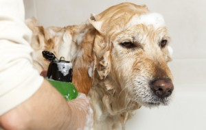 Shampooing Chien - Fotolia -