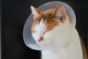 Chat portant une collerette - Fotolia