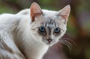 Chaton femelle de 6 mois - Nicea
