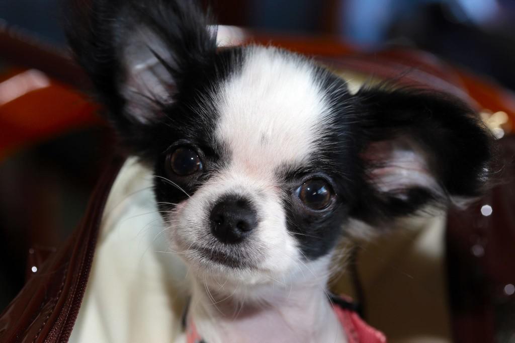 Petit Chihuahua - Nicea -