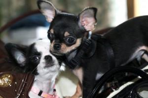 Chihuahuas - Nicea -